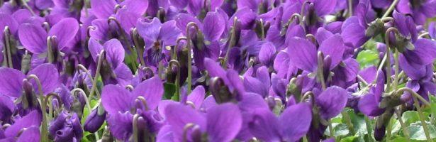 Tourettes Sur Loup, la Festa delle Violette