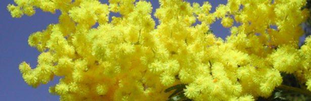 Sainte Maxime, la Festa della Mimosa